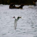 Terns On Skerries Img 4716